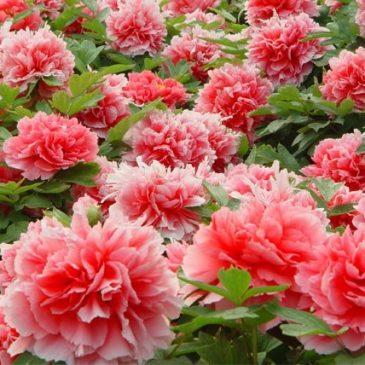 Những câu truyện  về loài hoa Đế Vương