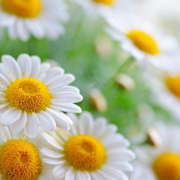 Chiết xuất hoa Cúc La Mã